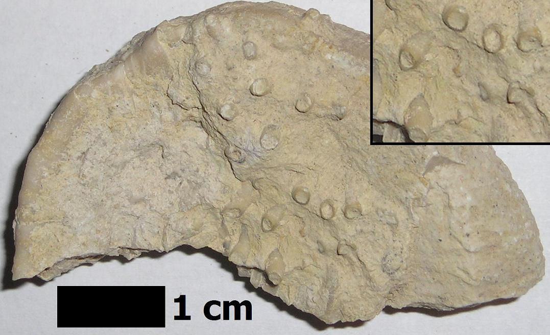 Tabulate coral